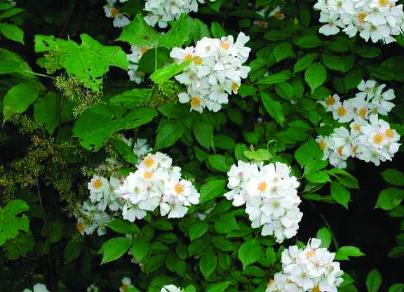 Multiflora Rose (Rosa multiflora)