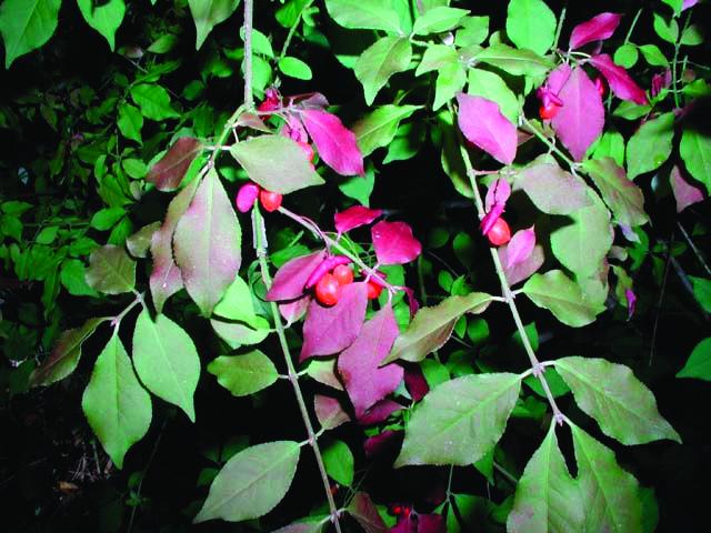 Burning Bush (Euonymus alata)