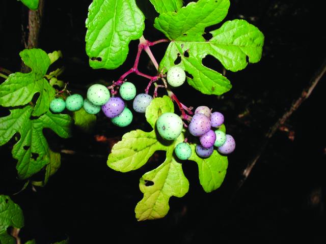 Porcelainberry (Ampelopsis brevipedunculata)