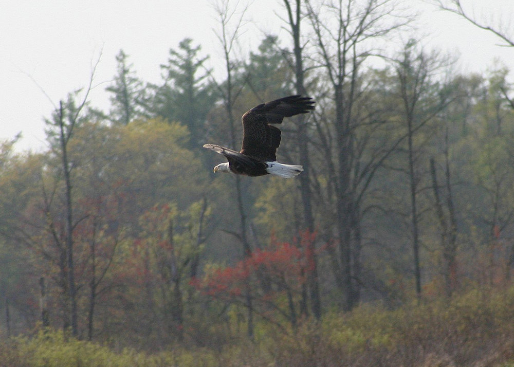 Thanks to conservationists across the country, the Bald Eagle was removed from the endangered species list in 2007.