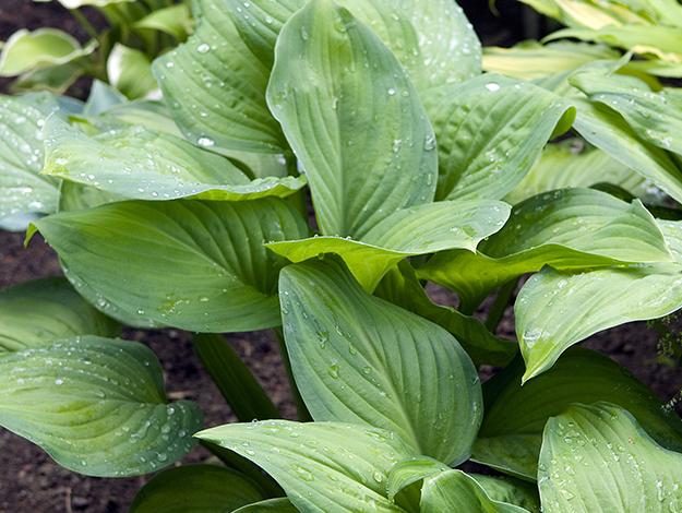 "Guacamole Hosta - PerennialHeight: 18""Width: 24""Sunlight: Full shade to partial shadeWater: Medium moistureCare: Water deeply during the first growing season, protectfrom snails and slugs, remove old foliage"