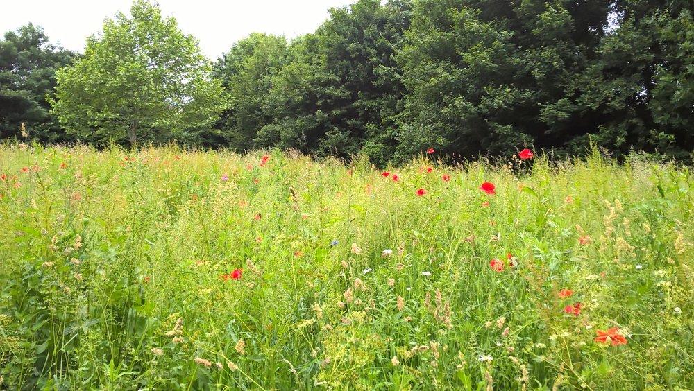 Bure Park Meadow in June.jpg