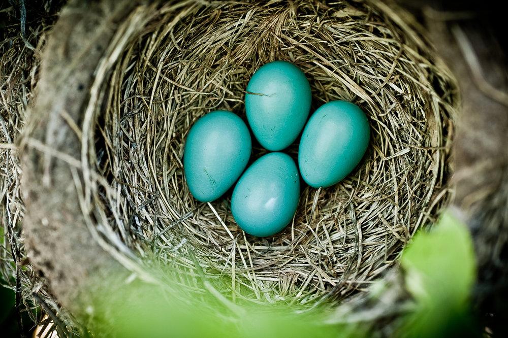 spring robin eggs.jpg
