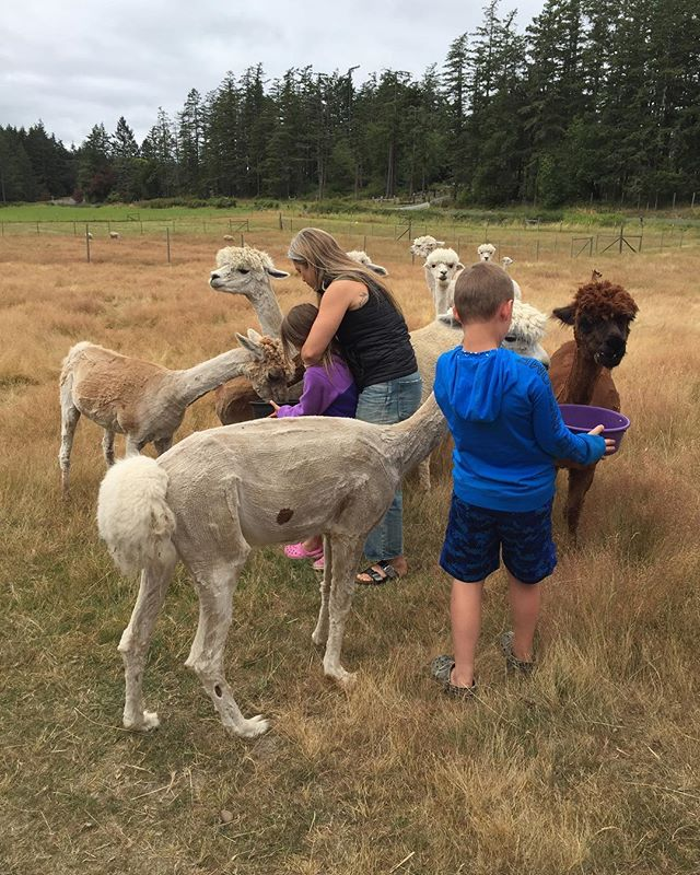 Feeding some hungry little alpacas at #orcasmoonalpacas!