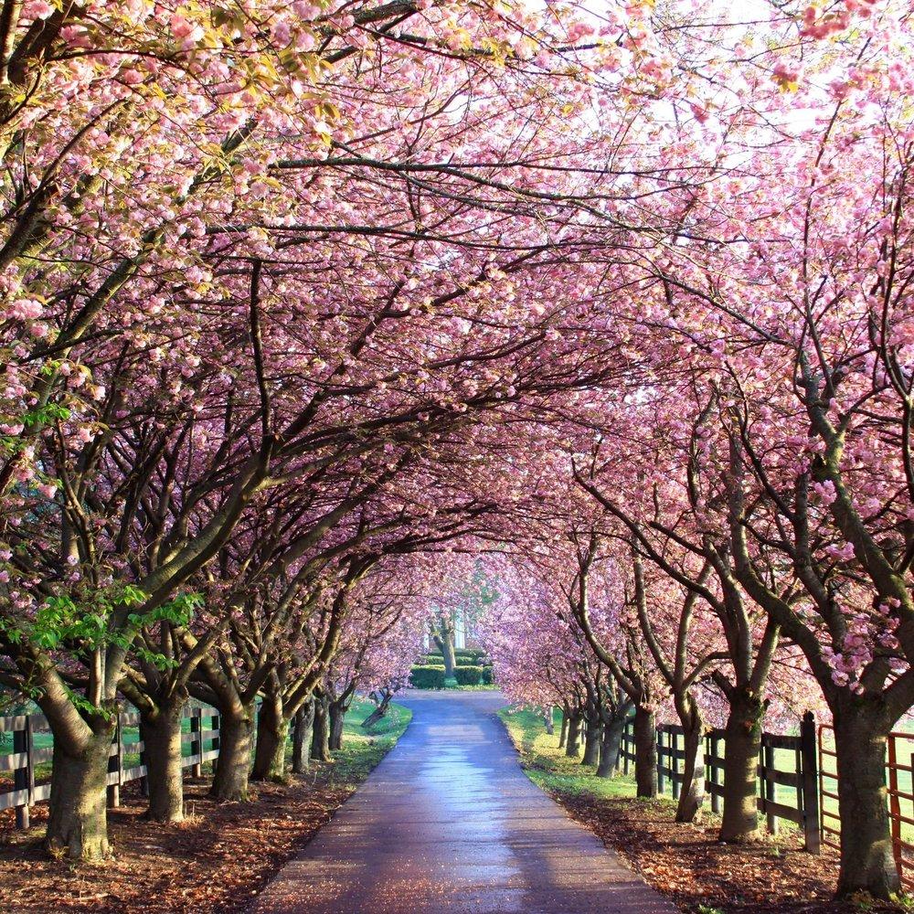 Blossom+Canopy.jpg