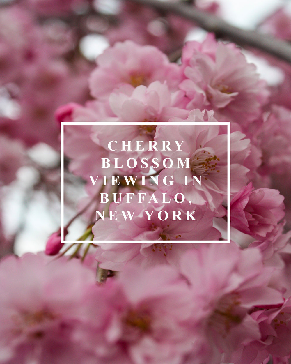 Cherry Blossom Viewing Blog Post.jpg