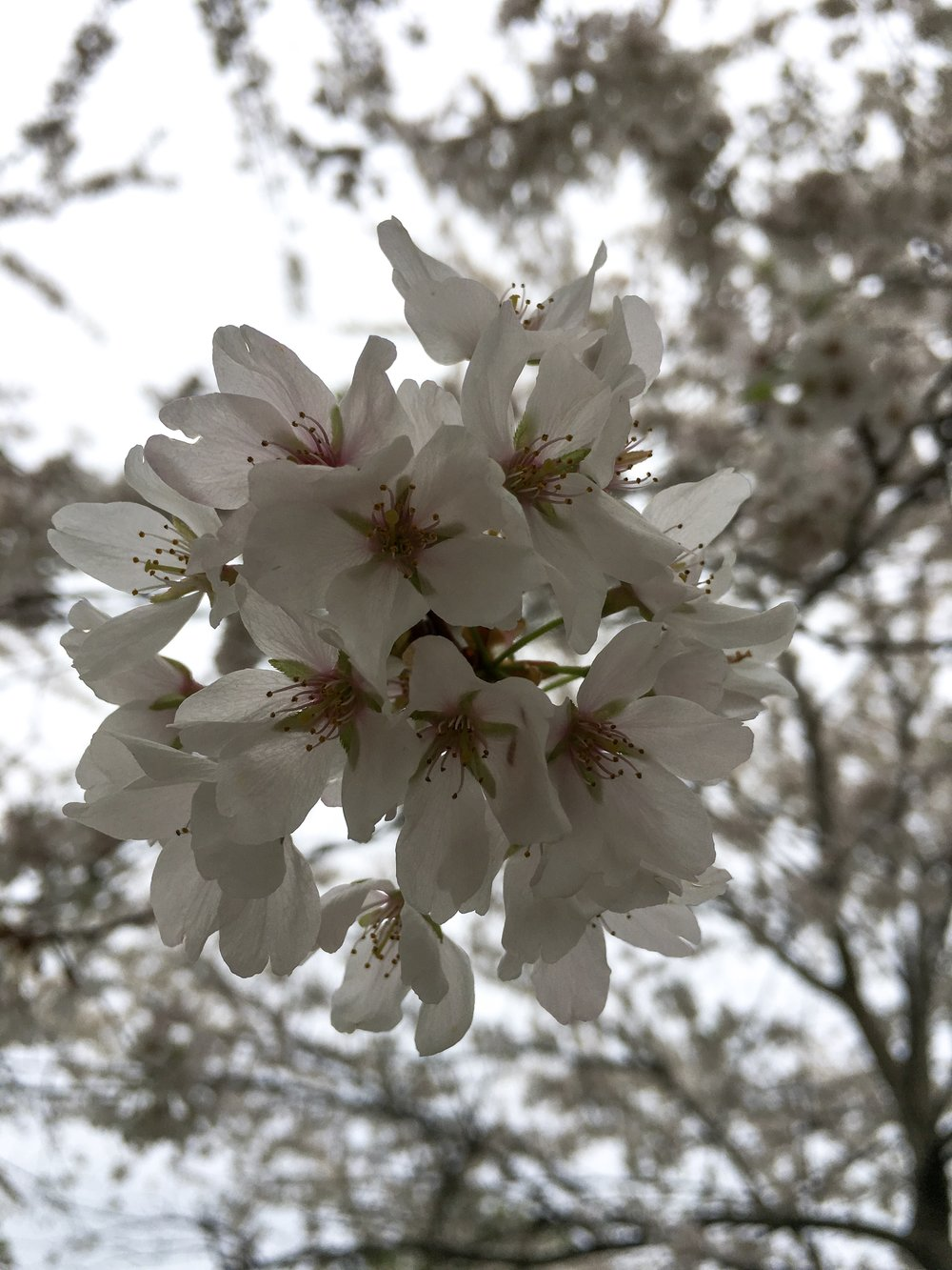 Cherry Blossom Viewing in Buffalo, New York — Appena Travel