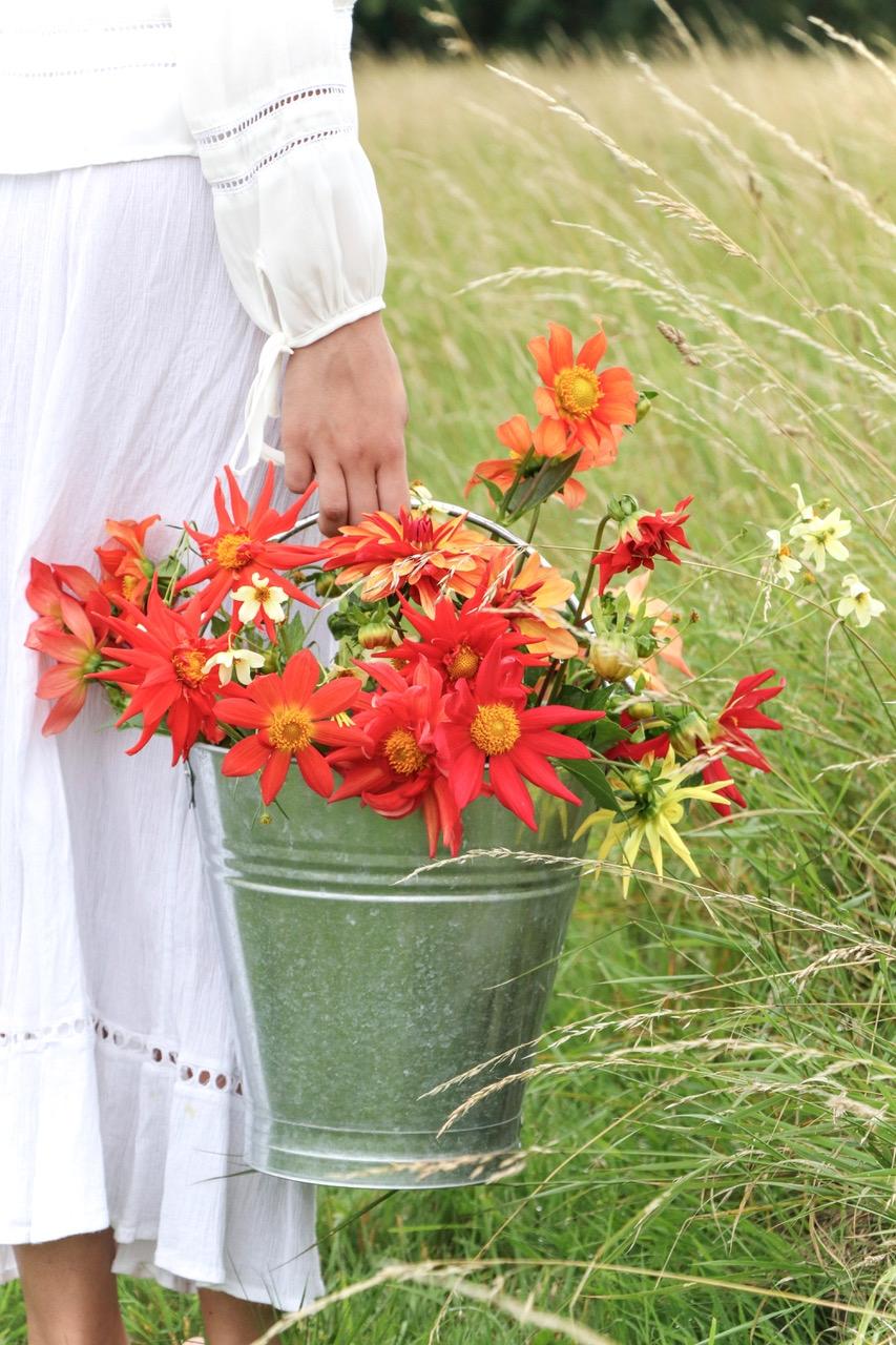 bucket of bright red organse dahlies.jpeg