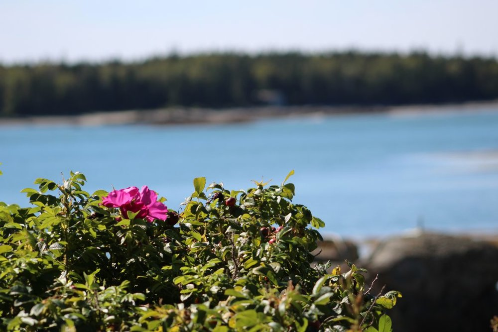 Beach rose.jpg