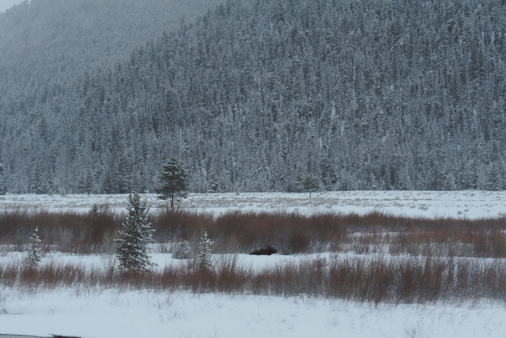 Its always amazing to see wildlife, and especially lovely to see them when you are alone in the wilderness in a storm. The moose was hunkered down by the river out of the wind.