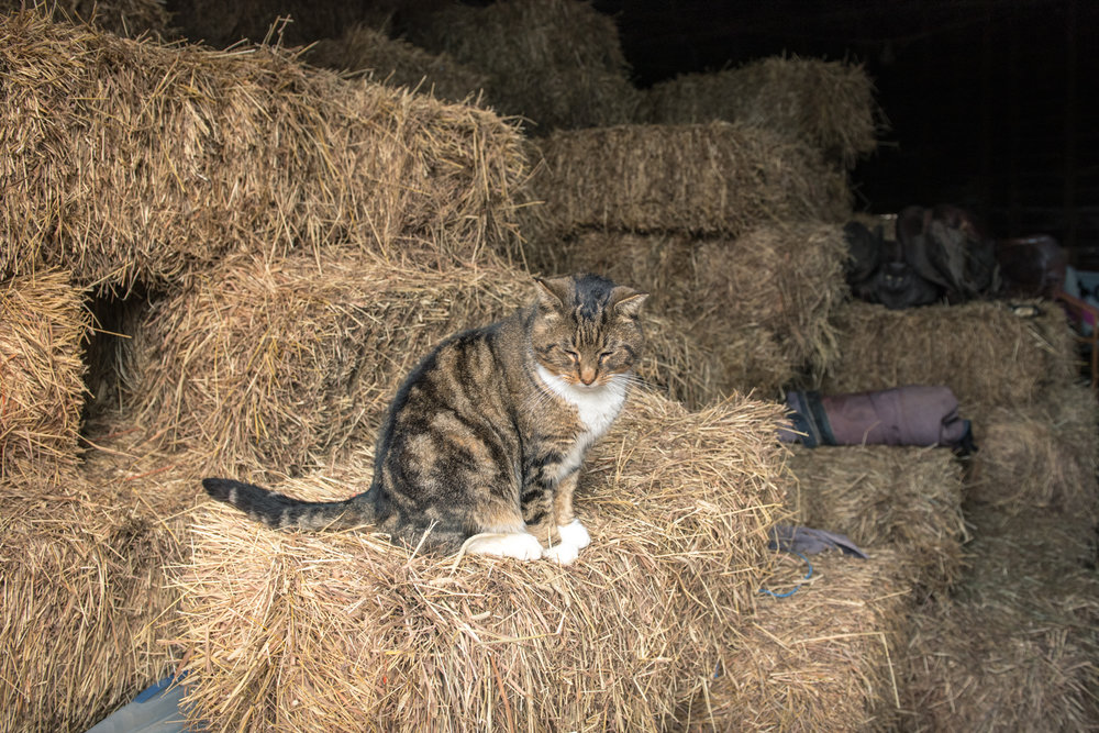Cats abound on the farm, all also rescues. If you are in the market for a rescue cat or kitten, Summer and her family have many lovely deeply adoptable cats waiting for homes. This guy on the other hand is a barn cat through and through!