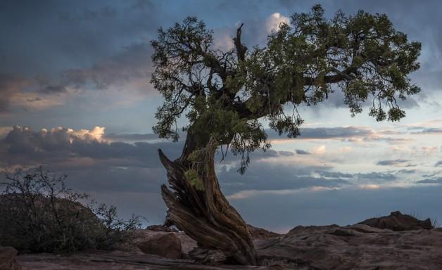 Juniper, Deadhorse Point, Canyonlands, Perseverance,