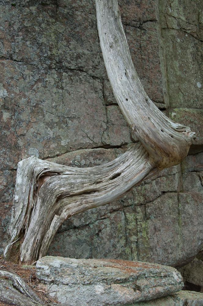 Climbing Tree Otter Cliffs