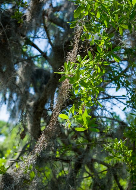 Spanish Moss Trail, Live Oak and Spanish Moss Beaufort SC