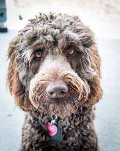 Wrigley, dog, chocolate, labradoodle