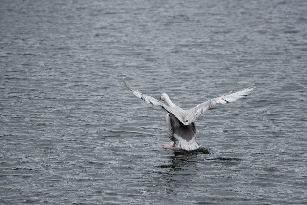 Swan, Takeoff, Pond
