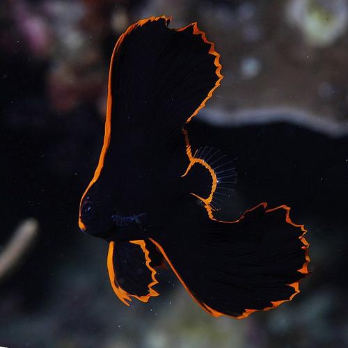 Juvenile Batfish (Platax)
