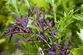 Purple Mizuna