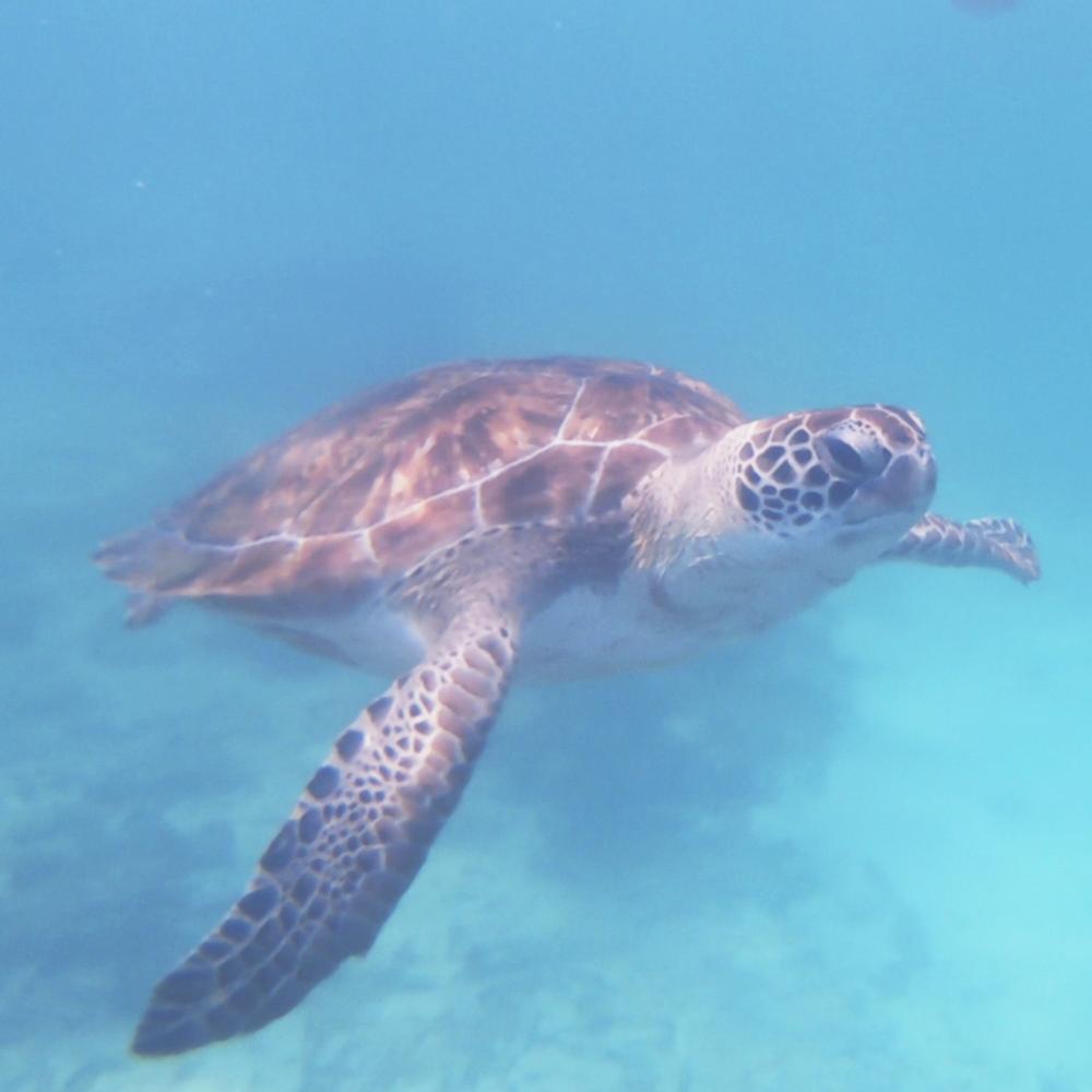 Swim with Sea Turtles -