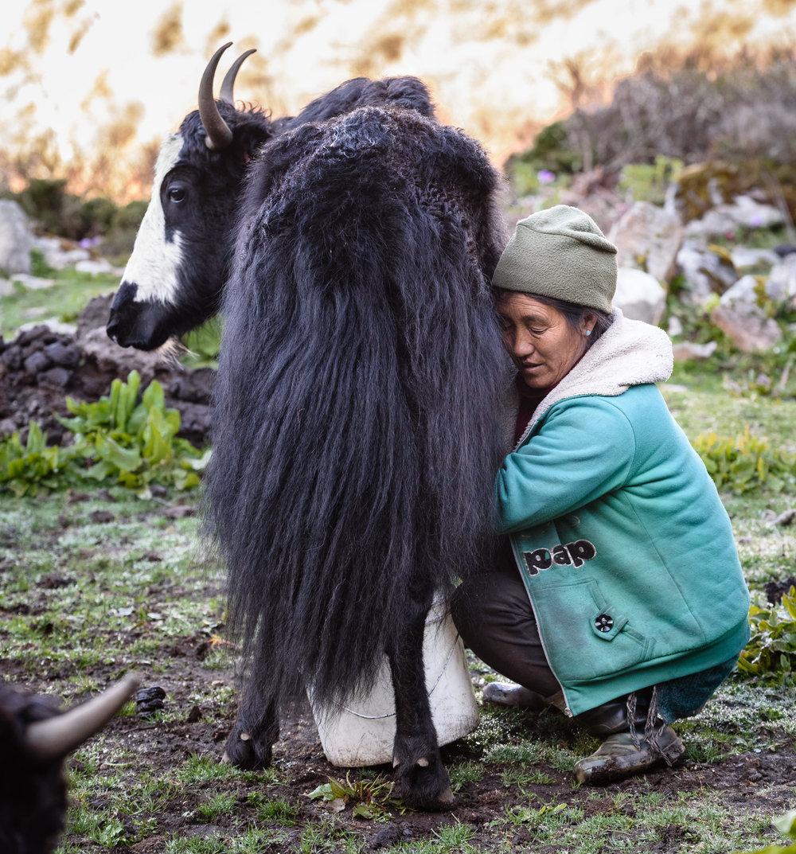 Samten Doma milks a yak at Thoktanglaka