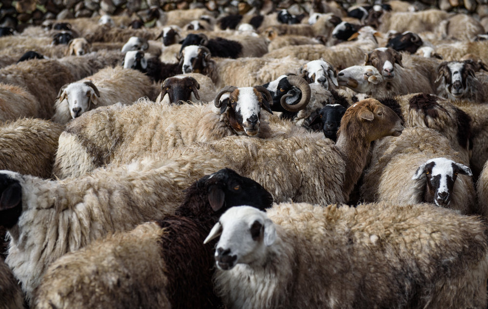 Tibetan sheep, once kept in greater numbers than yaks by Dokpas.