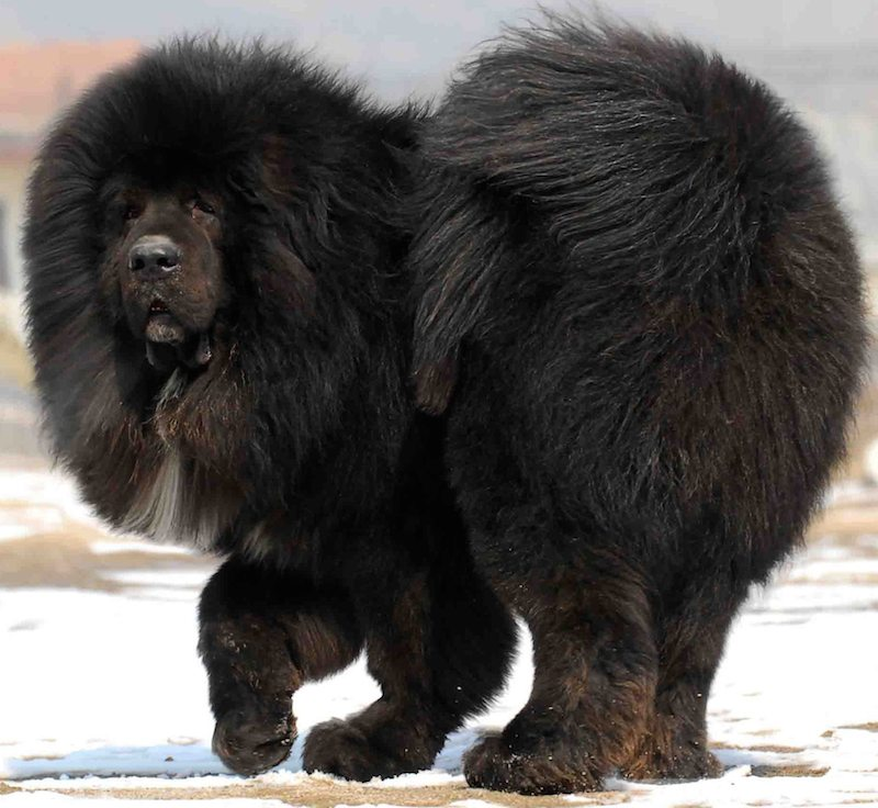 A pure-bred Tibetan Mastiff - Photo  K9 Research Lab  - Creative Commons