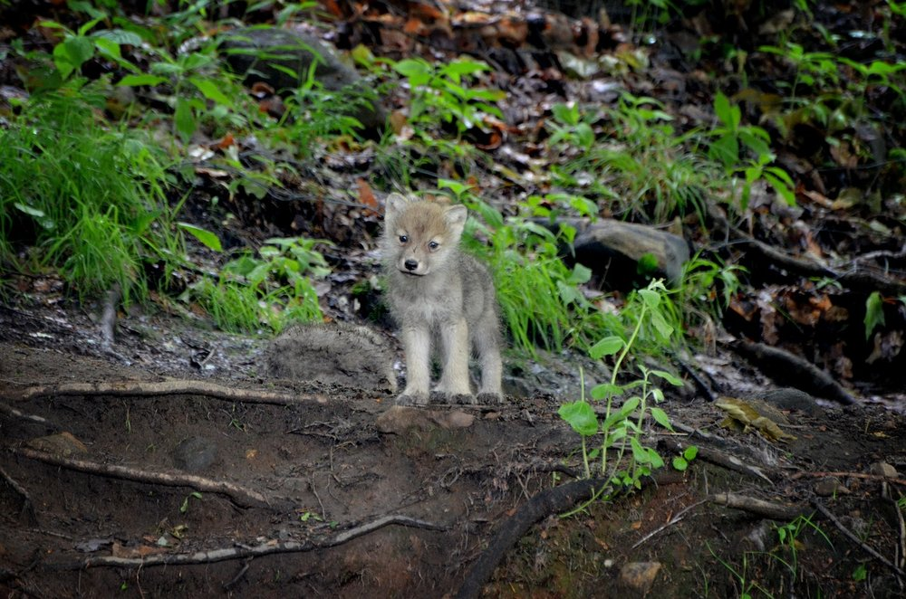 This young wolf is already a hunter.