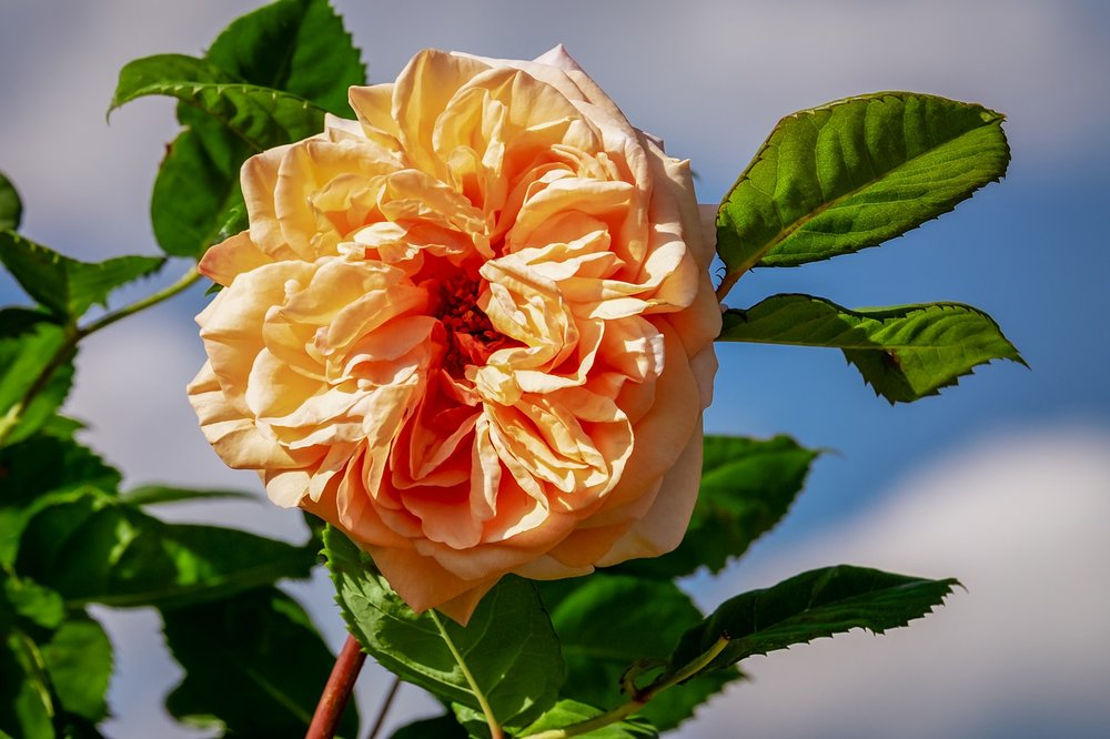 Would not a Rose by any other name still be one of the world's most popular flowers?