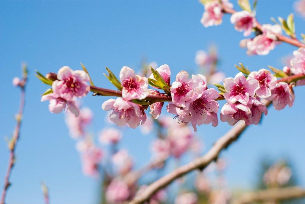 PeachBlossomAleah.jpg