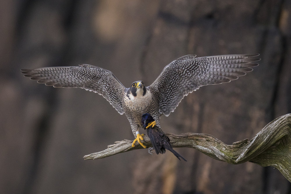 Falcons and Hawk Migration - OctoberCome to New Jersey and spend some time on the cliffs of the Palisades!! This cliffside adventure puts you right in the path of the birds of prey as they fly south to the winter.Enjoy eye level passes from several species of raptors as the rise up on thermals or dive by to avoid the local Peregrine Falcons. The Palisade's Falcons are aerial experts with an attitude to match their flying skills. Often air battles ensue while the Falcon's protect their territory.Expect flight shots, hunting and feeding opportunities on multiple perches are possible. Migrant species can range from Sharp shin Hawks, Coopers Hawks, Red Tailed Hawks, Harrier Hawks, Broad Winged Hawks, Kestrels, Merlins, Ospreys, and Eagles