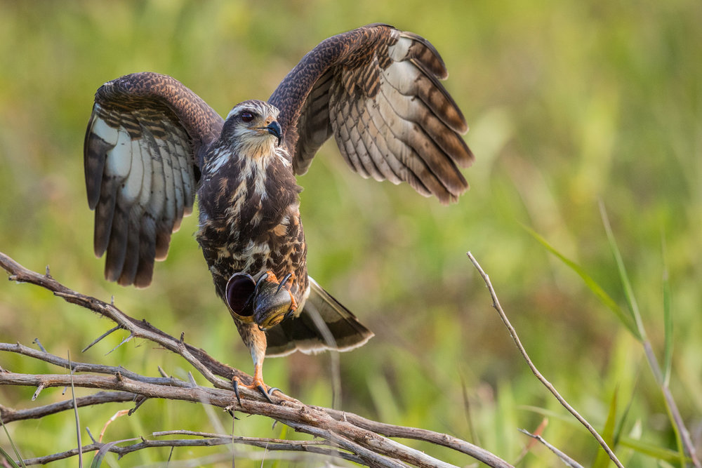 Snail Kites and Burrowing Owls - MarchEnjoy the warmer weather as The Elements of Nature brings you on an Airboat ride to see one of the most rare Raptors in Florida.Snail Kites need a thriving ecosystem and a pristine environment to survive in. Using a fan powered Airboat we will traverse the swamps of Central Florida looking for opportunities to photograph these amazing raptors in their natural settings.Part 2 of this wildlife photographic adventure will bring you to the Burrowing Owl. Florida's Burrowing Owl population thrives in certain areas and we will have access to a park that will several underground nests to photograph with different backdrops at each location.Other species possible on this trip include... Bald Eagles, Red Shouldered Hawk, Loggerhead Shrikes, Swallowtail Kites, Barred Owls, and Great Horned Owls.