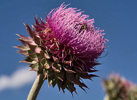 organic weed control - musk thistle