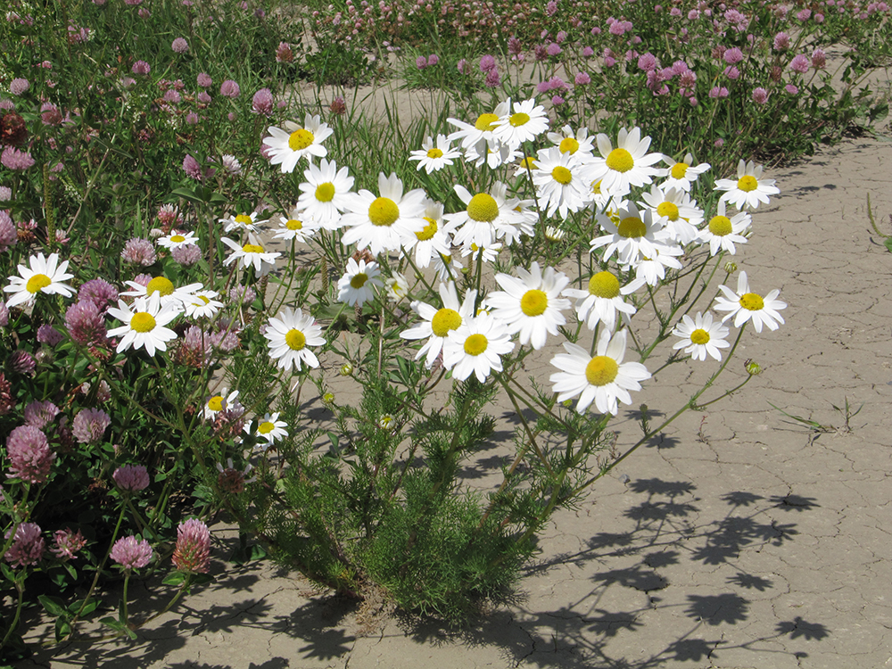 organic weed control - scentless chamomile