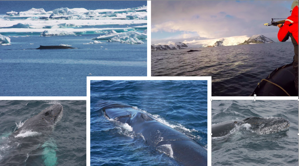 Some images of Humpback whales and a fin whale swimming (left upper corner) in an icy sea. Pictures taken by Manuela Bassoi, in the framework of the Brazilian project Interbiota.