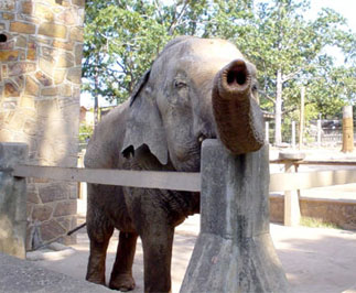 One of the Zoo's two elephants.