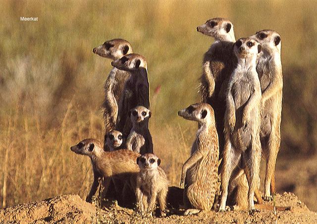 meerkat-group.jpg