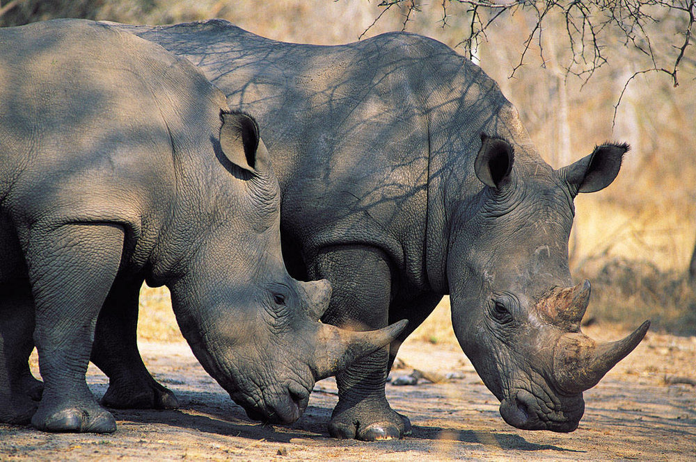 rhinos-getty.jpg