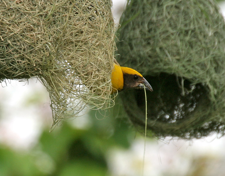 Baya_Weaver_(Ploceus_philippinus)-_Male_making_nest