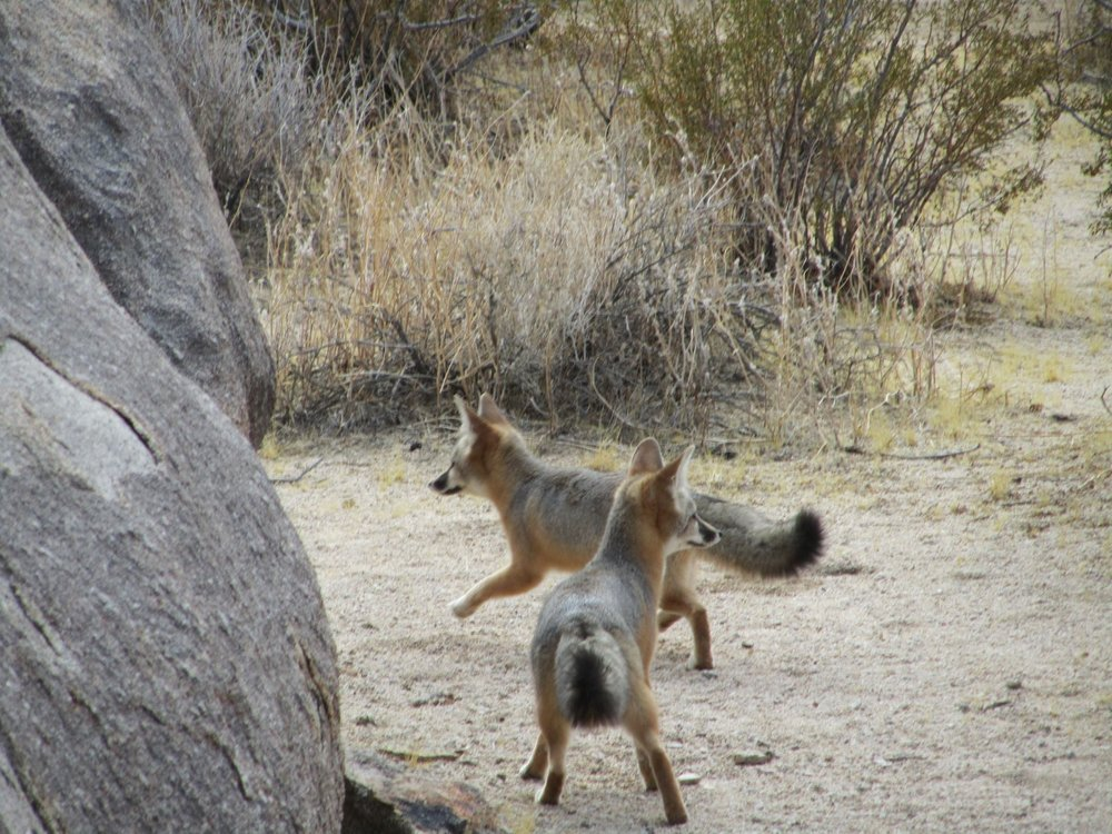 Kit foxes released after care at Big Bear Alpine Zoo from BBAZ
