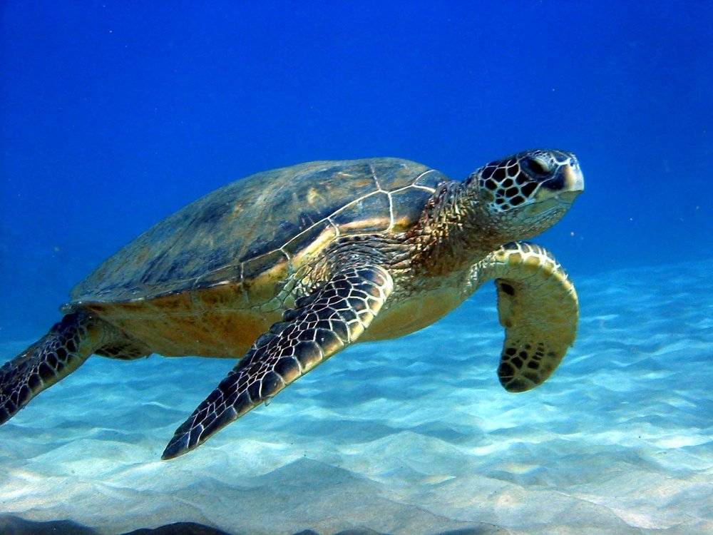 sea-turtle-hd-wallpaper_sister-from-below.jpg