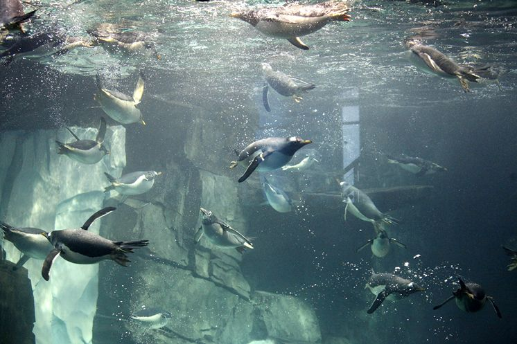 underwater-penguins-tampabaytimes.jpg