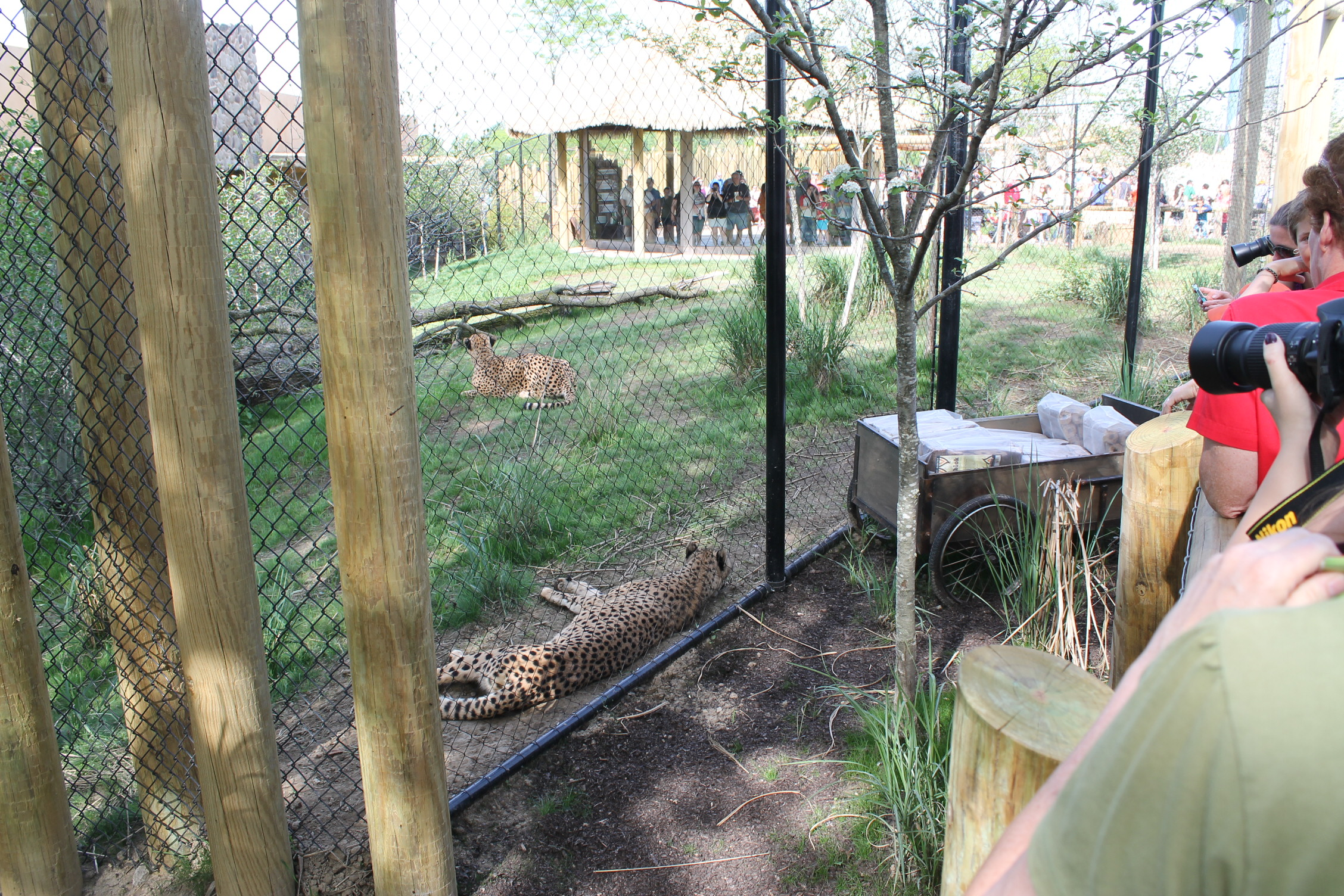 These Cheetahs enjoy public interaction.