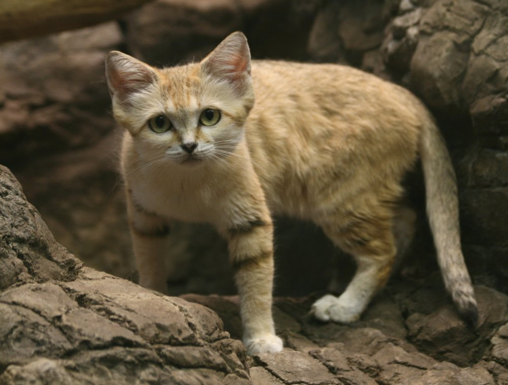 Sand Cat by httpswww.flickr.comphotosbecker271.jpg