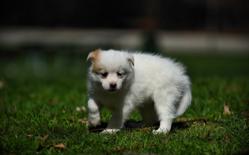 Pomsky Puppies Trained Pomsky Puppies For Sale Trained French