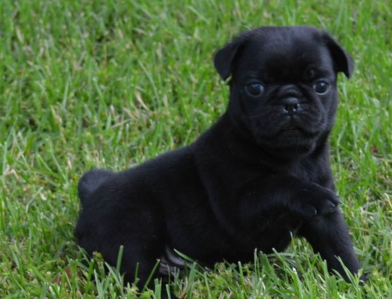 female pug puppies for sale near me