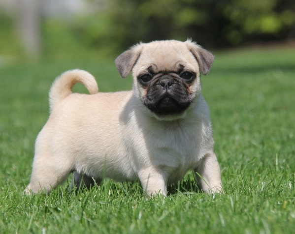 Pug Puppies Trained Pug Puppies For Sale Trained French Bulldogs