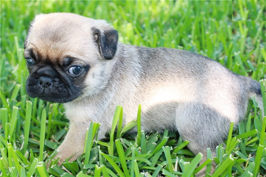 Blog Trained French Bulldogspomskies Puppies Pug Puppies