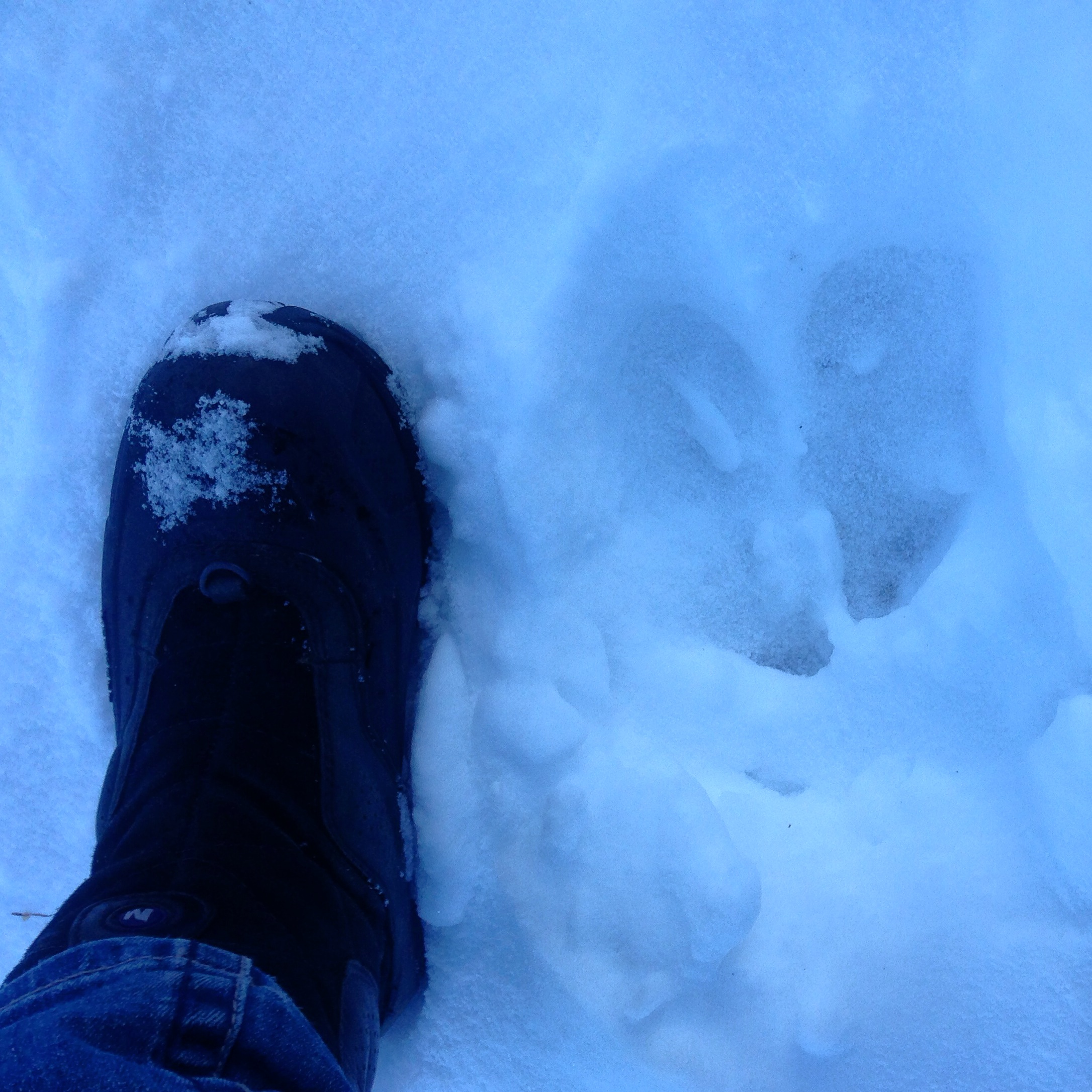 Fresh moose tracks in front of my studio this morning.