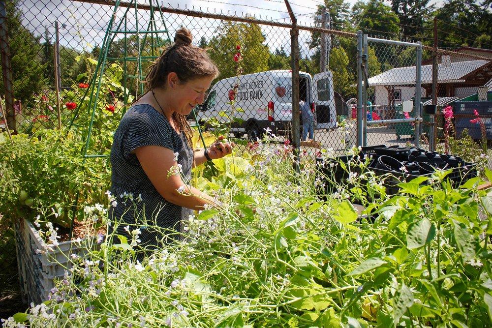 Mara Bernard, Community Gardens Manager of White Center Foo Bank, harvests rat-tail radishes.