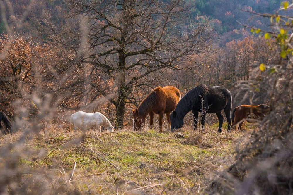 Wild horses feeding on grass